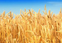 Procurement of Wheat