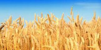 Procurement of Wheat