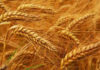 WHEAT PROCUREMENT IN HARYANA HAS SURPASSED