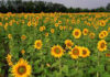 sunflower growers