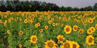 sunflower growers