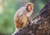 1.57 lakh monkeys sterilized in the state Forest Minister